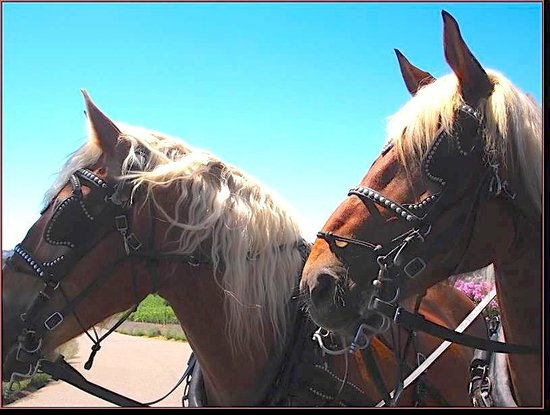 The Wine Carriage: Cheyenne & Cody, our Belgian Draft Horses.