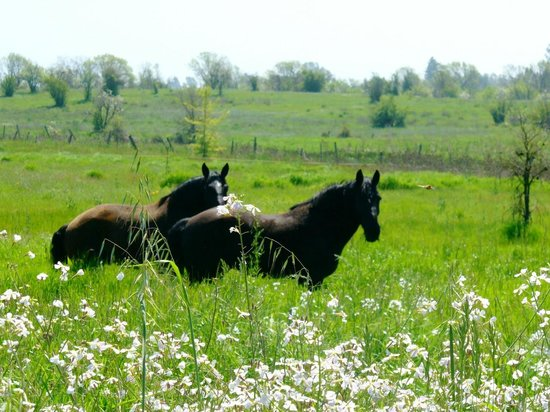 The Wine Carriage: Duke & Pepper, our Percheron Draft Horses, in spring pasture