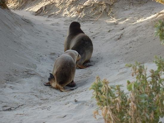 Seal Bay Conservation Park: Momma leading her pup to a warmer spot off the beach