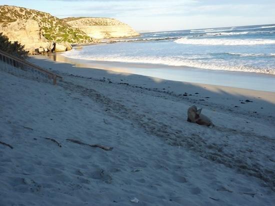 Seal Bay Conservation Park : Seal Beach, Kangaroo Island