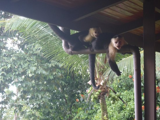 La Paloma Lodge : Monkeys
