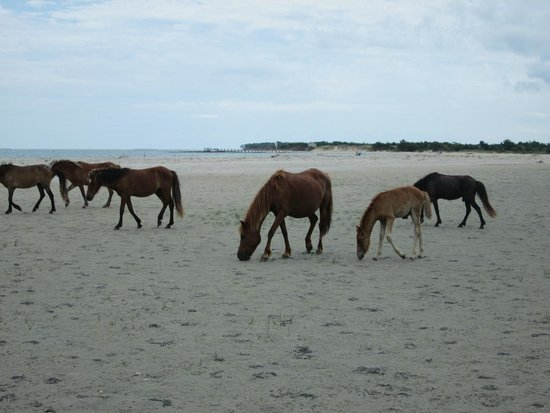 Crystal Coast Ecotours - Private Tours: Horses on Shackleford