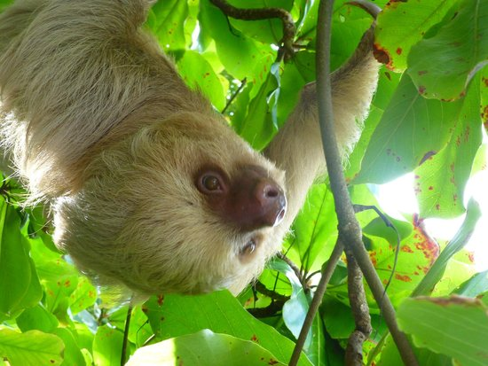 Arenas del Mar Beachfront and Rainforest Resort, Manuel Antonio, Costa Rica: Sloth