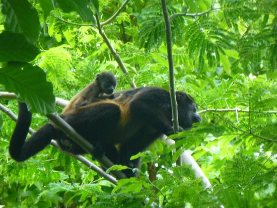 Arenas del Mar Beachfront and Rainforest Resort, Manuel Antonio, Costa Rica: Howler monkeys