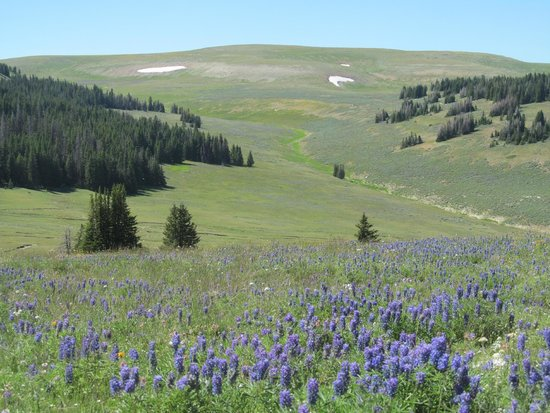 Bighorn National Forest: Field of wildflowers - July 2014