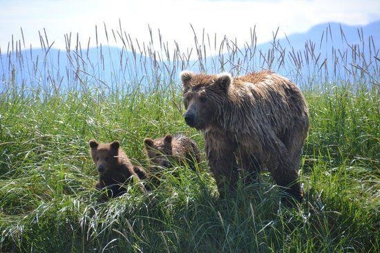 Crystal Creek Lodge : Mama Bear & Cubs - Naknek