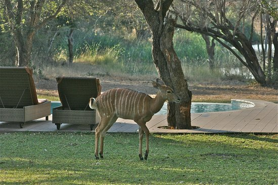 Tanda Tula Safari Camp: nyala by pool