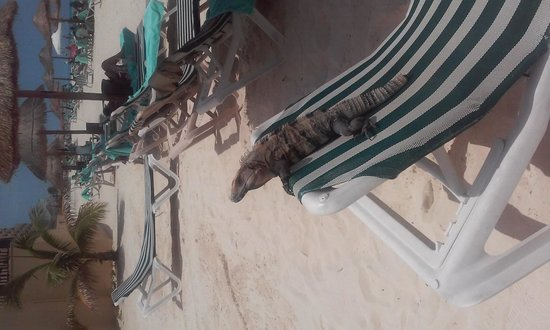The Royal Sands Resort & Spa All Inclusive: iguanas just laying out with me catching som rays
