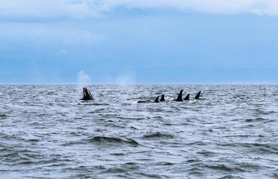 SpringTide Whale Watching & Charters : J Pod
