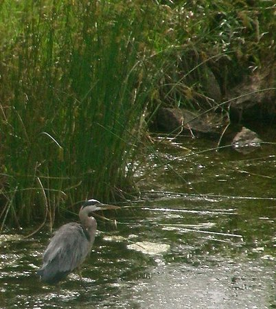 Cambria hotel & suites: Great Blue Heron in pond behind hotel.