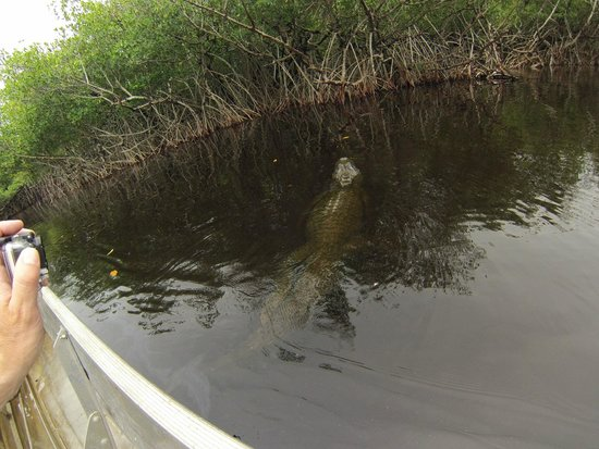 Captain Jack's Airboat Tours: Gator 1