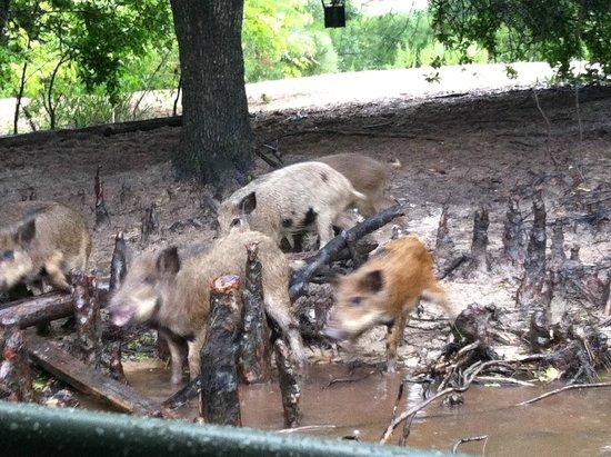 Cajun Encounters: Wild pigs!