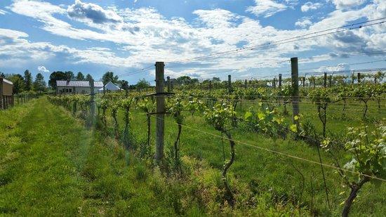 Cassel Vineyards of Hershey: Vineyard