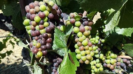 Case Ranch Inn: Luscious grapes!