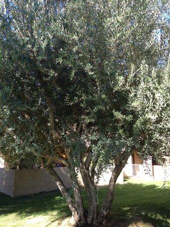 Oasis Villa Resort: Olive Tree