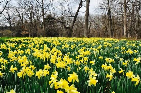 Morton Arboretum: Daffodils in bloom