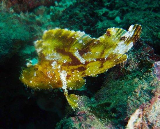 Lumba Lumba Diving Centre: Leaf Scorpion