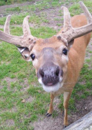 Wisconsin Deer Park: deer close up