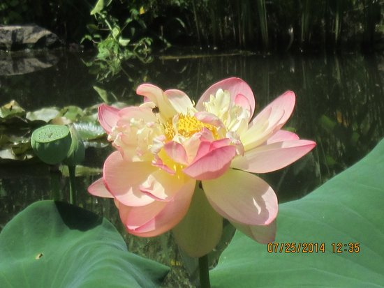 Chanticleer: the prima donna of lotus at its peak