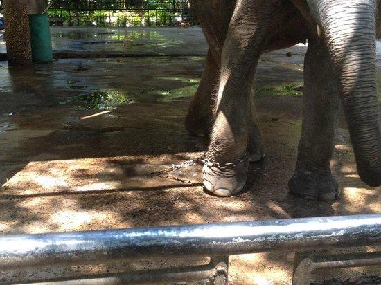 Phuket Zoo: The elephants chains