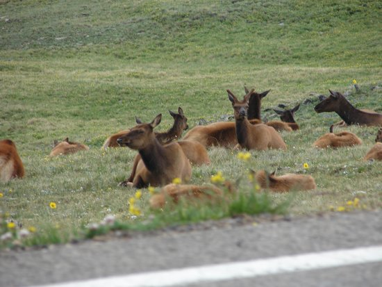 Trail Ridge Road : Elk on the side of the road