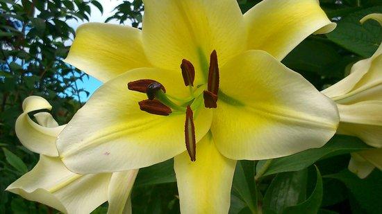 Butchart Gardens: I love lillies.