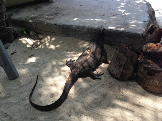 Coral View Island Resort: Monitor Lizard