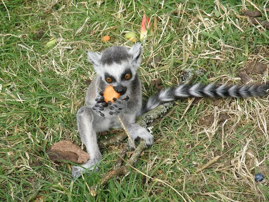 The Lake District Wildlife Park: Baby lemur