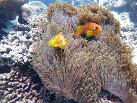Sun Aqua Vilu Reef: モルディビアンアネモネフィッシュ