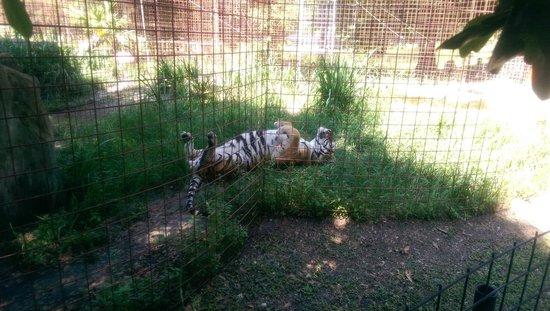 Big Cat Rescue: Tiger