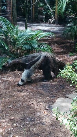 Brevard Zoo : Ant eater, so cute