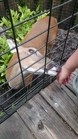 Brevard Zoo : Deer