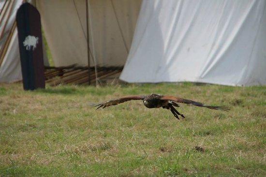 Scarborough Castle: Low flying Falcon