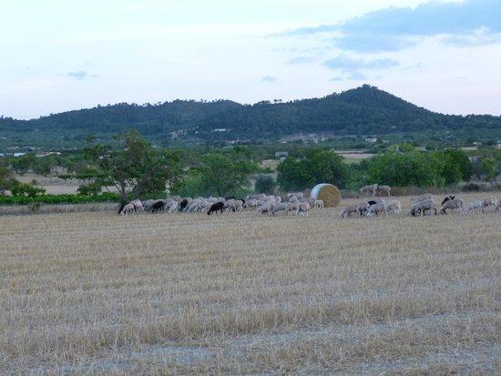 Finca Son Jorbo: Cami de s'Olivar goats and sheep