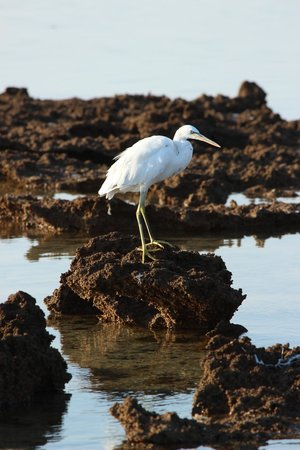 Jaz Mirabel Beach: stork on beach