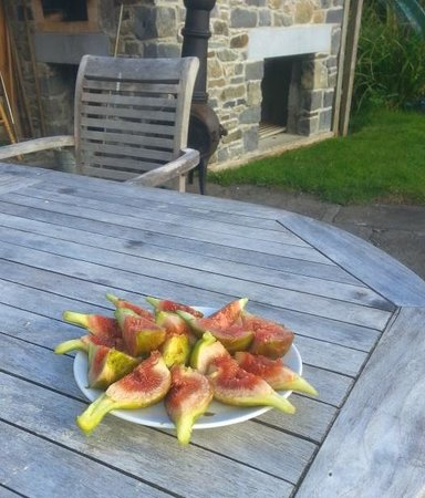 Croan Cottages: Figs straight from the tree in July