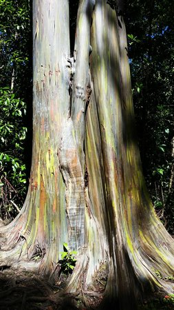 Hana Highway - Road to Hana : Painted Bark Trees at the beginning of drive