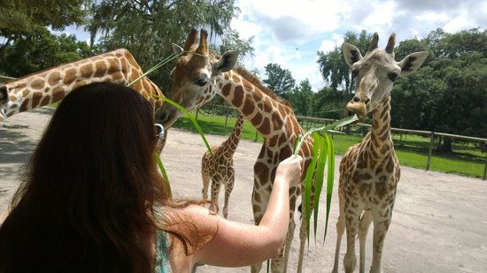 Giraffe Ranch: Griaffe feeding