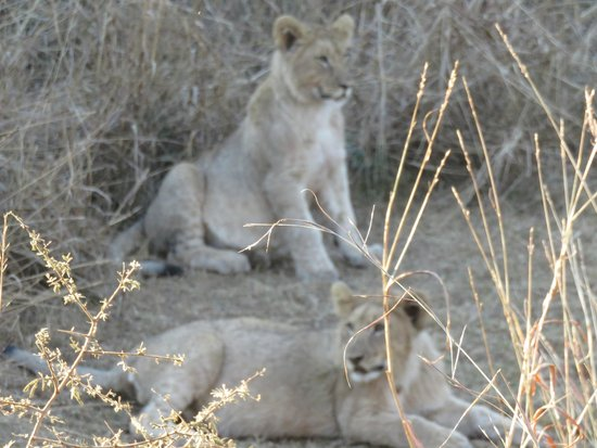 Ama-Zing Pilanesberg Safari Private Day Tour: Cubs have a look around while mamas sleep