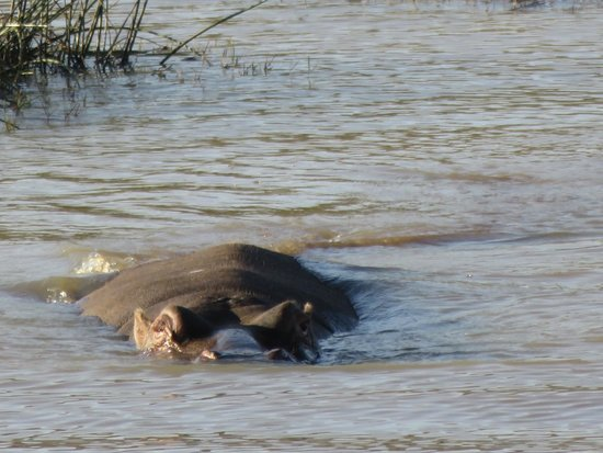 Ama-Zing Pilanesberg Safari Private Day Tour: Hippo just after it entered the water.