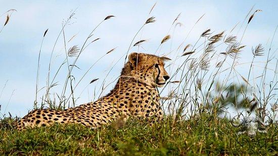 Inyati Game Lodge, Sabi Sand Reserve: Cheetah lying in grass