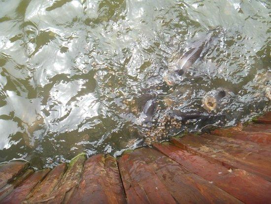 Pattaya Elephant Village: feeding the fish on the raft