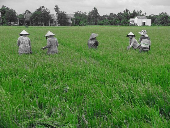Water Buffalo Private Day Tours: Ricefield