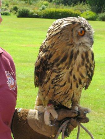 Mountain Goat Tours: Eagle owl at Muncaster