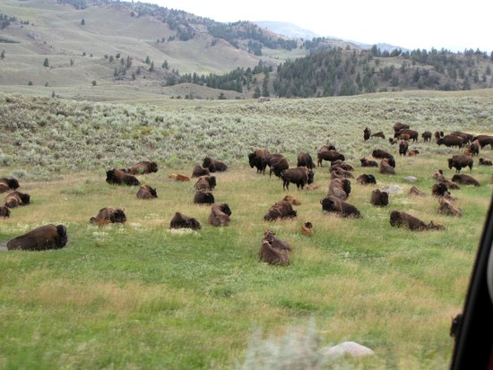 Herd of Buffalo in Lamar Valley