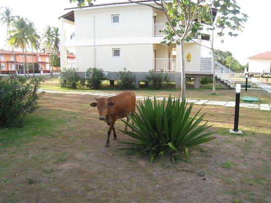 Hotel Maria La Gorda : frecuentes vacas por las inmediaciones