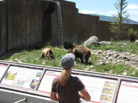 Montana Grizzly Encounter: feeding the bears to get the up from their nap