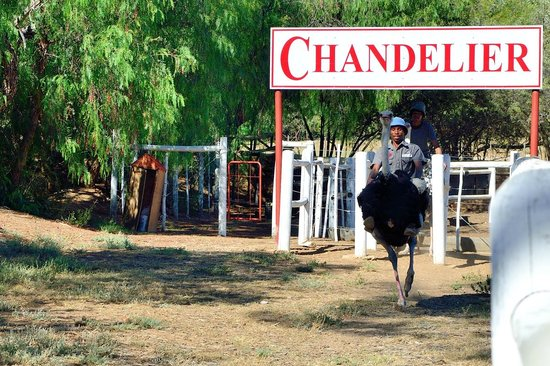 Chandelier Game Lodge & Ostrich Show Farm: Course d'autruches