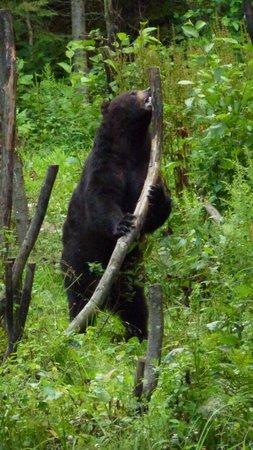 Aux Berges du St-Maurice : Observation d'ours