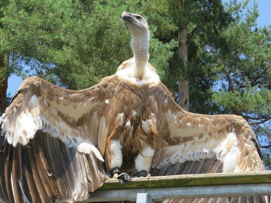 Parc de Courzieu : Un vautour pendant le spectacle